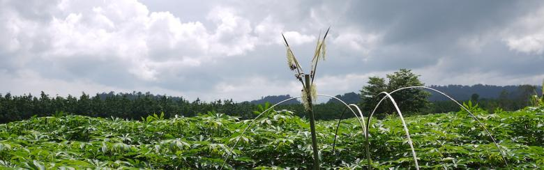 Cassava fields with a prayer symbol, Ratanakiri, Cambodia, 2015