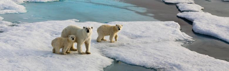 a family of polar bears marches across a thawing arctic