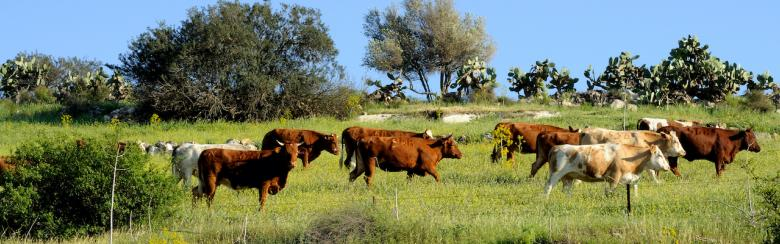 Free roaming cattle grazing in the fields of the Negev.